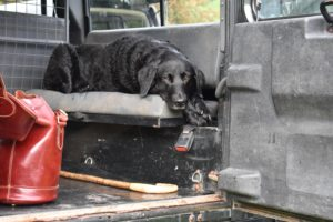 Labrador waiting in back of Land Rover