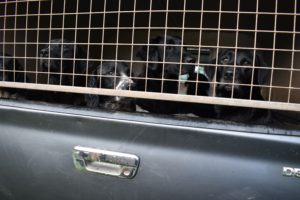 Gund dogs in back of vehicle