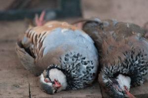 Dead partridges