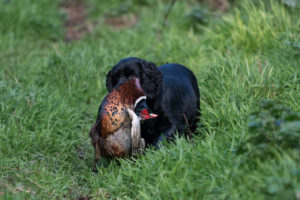 Gun dog with pheasant in it's mouth