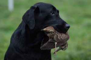 Black labrador with partridge in it's mouth
