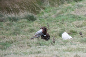 Spaniel with bird in mouth